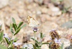 Makro av pärlemorfärg sätta sig Crescent Butterfly Phyciodes tharos arkivfoto