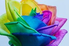 Makro av regnbågerosblomman Royaltyfri Foto