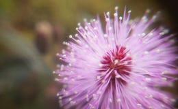 Makro av rosa färgblomman royaltyfria foton