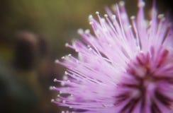 Makro av rosa färgblomman royaltyfri bild