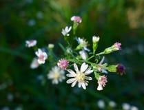 Makro av små vita blommor som slår ut i höst Arkivbilder