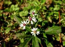 Makro av små vita blommor som slår ut i höst Arkivfoton
