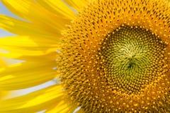 Makro av solrosen Royaltyfria Foton