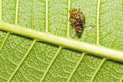 Makro av spindeln som äter ett kryp på det gröna bladet Royaltyfria Foton