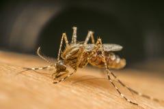 Makro av sugande blod för mygga (Aedesaegypti) arkivfoton