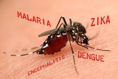 Makro av sugande blod för mygga Arkivbilder