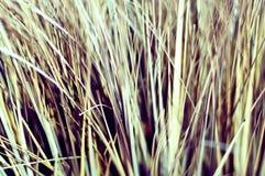Makro av torkat gräs, tappningblick arkivbilder