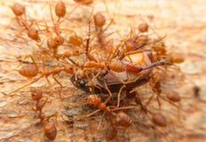 Makro av tropiska myror för röd brand som fångar ett rov Arkivfoton