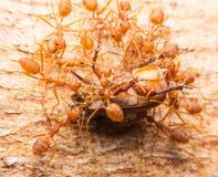 Makro av tropiska myror för röd brand som fångar ett rov Royaltyfri Fotografi
