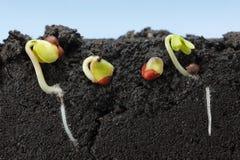 Makro av växande frö för grönkål i fält Fotografering för Bildbyråer