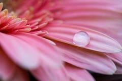 Makro av vattendroppe som lägger på det rosa gerberakronbladet Arkivfoton