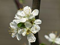 Makro av vitt blomma för Apple träd arkivfoto