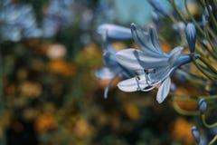 Makro- błękitny kwiat agapanthus africanus Zdjęcie Royalty Free