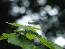 Makro- błękitny szerokoskrzydły dragonfly fotografia stock