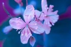 Makro- barwiony różowy błękitny zbliżenie nipplewort leczniczy ziele kwitnie na rozmytym tle zdjęcie stock