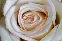 Makro- biały róża kwiat fotografia stock