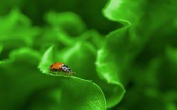 Makro- biedronka na świeżym zielonym liściu Fotografia Royalty Free