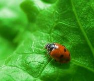 Makro- biedronka na zielonej sałatki liściu Zdjęcie Stock