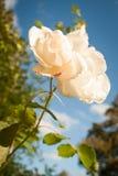 Makro- biel Róża Fotografia Royalty Free