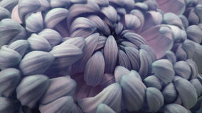 Makro blått-rosa färger stor krysantemumblomma closeup Blått-rosa färg-vit blommabakgrund arkivbild