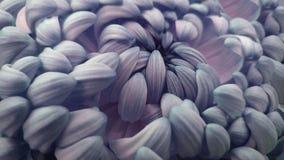 Makro blau-rosa große Chrysanthemenblume nahaufnahme Blau-rosa-weißer Blumenhintergrund Stockfotografie