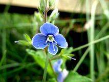 Makro blaue Blume Lizenzfreie Stockbilder