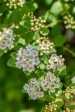 Makro- bridal przesłona kwitnie początek kwitnąć w wiośnie zdjęcia stock