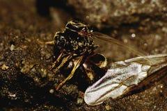 Makro- brown mrówka wyginająca się uskrzydla reset Obrazy Stock