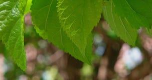 Makro- brzoza liście na wiatrze zbiory wideo