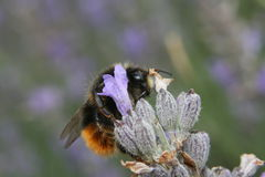Makro- bumblebee na kwiacie Obrazy Royalty Free