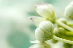 Makro- calotropis trojeści kwiat Obraz Royalty Free