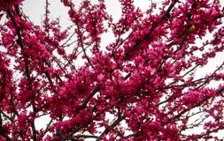 Makro- Chmurzący Różowy drzewo obrazy stock