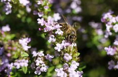 Makro close up of blooming thyme bush thymus vulgaris with isolated bee pollinating stock images