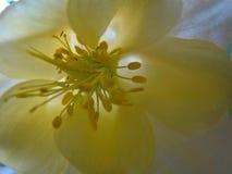 Makro- colombine kwiat Zdjęcia Royalty Free