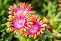 Makro- colourful Delosperma fotografia stock