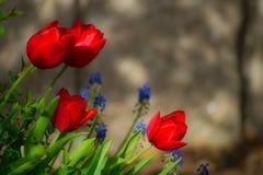 Makro- Czerwoni tulipany z unfocused tłem obrazy stock