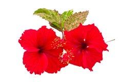 Makro- czerwony Chiny róży kwiat & x28; Chiński poślubnika kwiat, Hibiscu Obrazy Stock