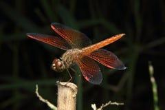 Makro- czerwony Dragonfly obraz royalty free