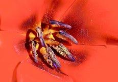 Makro- czerwony Kwiat Zdjęcie Royalty Free