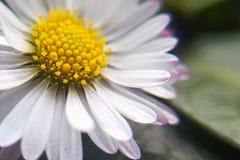 Makro Daisy Flower Detaljer av den gula tusensk?nan fotografering för bildbyråer