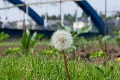Makro- Dandelion przed rozmytym błękita mostem fotografia royalty free