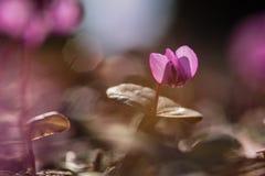 Makro de las flores del ciclamen Fotos de archivo