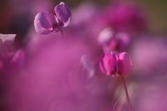 Makro de las flores del ciclamen Imagen de archivo