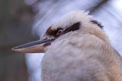 Makro de risa del kookaburra Fotos de archivo libres de regalías