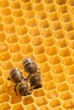 Makro der Arbeitsbiene auf honeycells. Stockfotografie