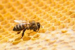 Makro der Arbeitsbiene auf honeycells. Stockfoto