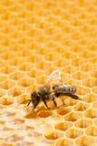 Makro der Arbeitsbiene auf honeycells. Stockbild