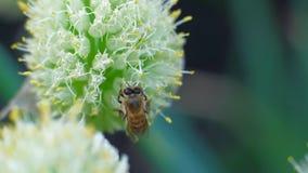 Makro der Biene Blütenstaub auf Blume erfassend stock footage
