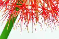 Makro der Feuerkugel-Lilie Stockfoto