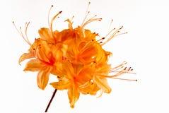 Makro der Flammenazalee in der Blüte, auf weißem Hintergrund Stockbilder